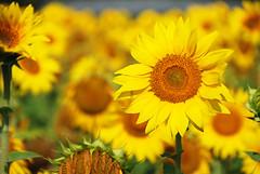 girasole tournesol sunflower sonneblume helianthus (OltreversoLab) Tags: sunflower girasole tutorial tournesol helianthus sonneblume cardscrapbookinggirasole comedisegnareungirasole lavorettibambinigirasole scrapbookingpolline