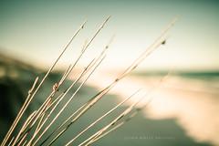 Dune grass (john white photos) Tags: ocean sea nature water grass vintage coast dune australian australia retro coastal aged southaustralia dunegrass eyrepeninsula