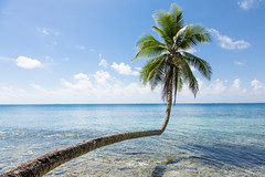 Bent Tree (GlobalGoebel) Tags: ocean blue shadow sea 3 tree green water canon eos polynesia paradise angle pacific coconut mark iii lagoon palm 5d bent leaning mark3 markiii 24105mm canonef24105mmf4lisusm tuvalu funafuti fongafale
