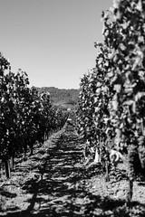 grapes (Thomas Skov) Tags: california travel usa landscape wine outdoor roadtrip event grapes napavalley zm lenstagger leicam9 biogont235