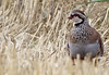Red legged partridge 28-09-2013 (Ted Humphreys Nature) Tags: partridges redleggedpartridge tedhumphreysnature