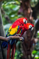 Oasis Scarlet Macaws (joe.diebold) Tags: birds animal disney oasis disneyworld waltdisneyworld animalkingdom macaws disneyanimalkingdom scarletmacaws