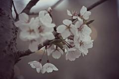 (hammersandstringsx) Tags: flowers summer tree beautiful cherry photography 50mm spring pennsylvania blossoms bloom scranton canonrebelxs