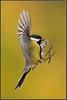 www.durmaplay.com_oyun_wallpaper_57580.jpg (http://www.durmaplay.com) Tags: autumn bird nature animal wings fallcolors wildlife vlucht flight natuur landing greattit beech parusmajor vogel ocre oker koolmees vleugels zangvogel hvhe1 hennievanheerden wwwdurmaplaycom