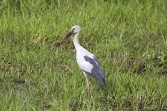 Asian Openbill (Anastomus oscitans) (piazzi1969) Tags: india birds asia wildlife assam storks kaziranga anastomusoscitans openbills