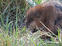Muskrat Eating Grass Using Hands (nature80020) Tags: nature closeup hands colorado eating wildlife muskrat eatinggrass usinghands metzgerfarmopenspace