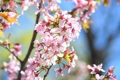 Colourful Sakura () Tags: flowers macro spring blossom sakura saintpetersburg botanicalgarden