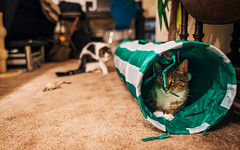 (323/365) She never saw it coming (Chexjc) Tags: cats playing cat canon project f14 365 24mm 6d samyang