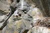 Peregrine Falcon (Miles Gilbert) Tags: uk wild england bird nature animal canon outdoors sticks rocks nest wildlife somerset raptor 7d falcon prey predator 70300mm twigs birdofprey peregrine peregrinefalcon imagestabilizer canon7d
