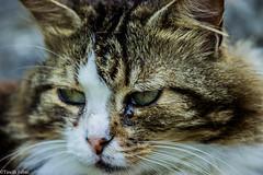 Desiree (tinellifabio) Tags: portrait cats animal cat canon occhi sguardo colori gatto ritratto gatti animale naso muso composizione profilo espressione baffi 600d animaledomestico 55250 mammiforo