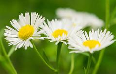 The Three Amigos (tquist24) Tags: flowers flower macro daisies bristol nikon unitedstates indiana daisy wildflowers bonneyvillemillcountypark nikond5300