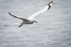 IMG_6990 (timrusson) Tags: silvergull