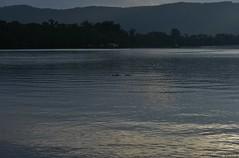 Floating Log With Teeth (shaneblackfnq) Tags: crocodile saltwater salty crocodylus porosus shaneblack daintree river fnq far north queensland australia tropics tropical reptile floating cruising dusk teeth