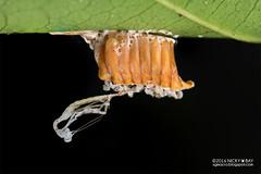 Mantis ootheca with moult - DSC_1041 (nickybay) Tags: singapore macro nangka trail riflerangeroad mantis mantodea eggsac ootheca moult
