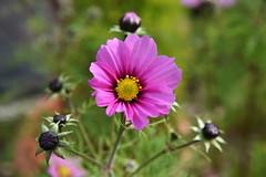 DSC_3201 (PeaTJay) Tags: nikond750 reading lowerearley berkshire macro micro closeups gardens outdoors nature flora fauna plants flowers