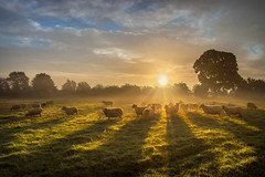 Sun, Sheep n Shadows (Getty Listed) (Alan10eden) Tags: sheep flock light shadows early morning dawn autumn sunrise firstlight sunburst sunstar ewes ram tup fleece wool ovine farm farmer field paddock grass outdoors landscape october agriculture livestock rearing countyarmagh ulster northernireland alanhopps canon 80d sigma 1770mm misty mist grazing freerange