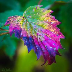 Multi-Colored Leaf (PhotoArtMarie) Tags: leaf autumn multicolored