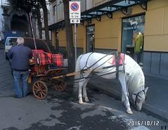 Cavallo a Riposo (triziofrancesco) Tags: sorrento carrozza carriage triziofrancesco cavallo horse bianco riposo campania italy animali animals