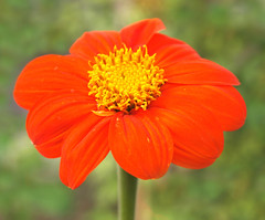 Orange flower (ekaterina alexander) Tags: orange flower mexican sunflower tithonia rotundifolia autumn bloom ekaterina england alexander sussex nature photography pictures nymans garden gardens national trust
