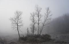Foggy day on the marsh (harald.bohn) Tags: tke skodde mist fog trr trees tre myr marsh morning forest skog oktober october hst autun