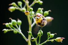 Macro Mondays - Theme Backlit (Lele-hh) Tags: macromondays backlit hummel bumblebee