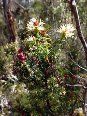 Richea procera and Leptecophylla juniperina subsp. parvifolia (dracophylla) Tags: lakekingwilliam tasmania leptecophyllajuniperinasubspparvifolia ericaceae richeaprocera