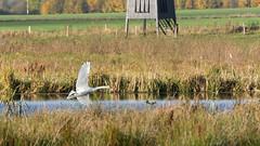 Mute Swan, Vissing Enge 2016 (Jesper Krogh, DK) Tags: muteswan knopsvane vissingenge swan svaneiflugt lake s svane muteswaninfligt s