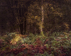 Depths (jellyfire) Tags: landscape landscapephotography sonnartfe55mmf18za sony sonya7r suffolk thetfordforest woodland autumn branches broadleaf copse deciduous ecology evergreen fir green growth leaves leeacaster life norfolk pine trees trunk woods wwwleeacastercom zeiss