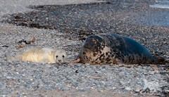 Gray Seal with pup (fascinationwildlife) Tags: animal mammal gray sea seal kegelrobbe robbe pup beach coast nature natur wild wildlife winter germany deutschland north nordsee helgoland island cute