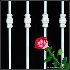 Voglia di libert (premere L per guardare) (Ferruccio Zanone) Tags: le mie prigioni inferriata rosa voglia di liberta ferro battuto prigione lavoro ufficio finestra