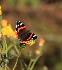 Red Admiral (patwyse152) Tags: red admiral butterfly insect nature kildare ireland