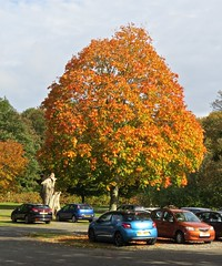 5128 Sycamore autumn colour at Plas Newydd (Andy - Daft as a brush - don't ask!) Tags: 20161021 aaa autumncolour brynsiencyn ccc cymru nationaltrust northwales ooo orange plasnewydd red rrr sss sycamore tree ttt