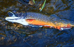 brook trout in Winneshiek Co. IA 854A7577 (lreis_naturalist) Tags: brook trout spawning color winneshiek county iowa larry reis