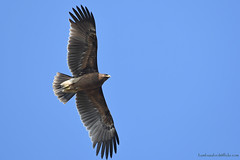 / Greater Spotted Eagle / Aquila clanga (bambusabird) Tags: nature natural wildlife bird eagle ricefield field grassland chiangmai thailand nikon
