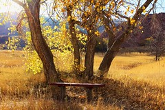 Bench in the Meadow (Circled Thrice) Tags: roxborough roxboroughstatepark statepark park meadow bench trees tree cottonwoodtree cottonwood gold golden fall autumn denver colorado co canon eos rebel t3i sigma outdoor outside hike trek walk path