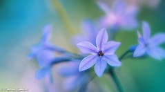 blue time (frederic.gombert) Tags: flower light autumn flowers blue purple green sunlight color colors macro nikon garden colored plant bunch d810 105mm