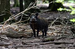Pourquoi je suis pas rassur... (Joseph Trojani) Tags: sanglier pig boar wildboar gibier animal animaux nature natur fort forest bois nikon d7000