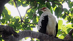 Palmnut Vulture.  Gypohierax  angolensis (jaytee27) Tags: palmnutvulture gypohieraxangolensis gambiakololi naturethroughthelens