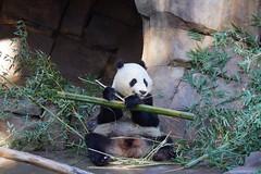 Xiao Liwu (小礼物) 2016-11-18 (kuromimi64) Tags: sandiegozoo 動物園 zoo sandiego サンディエゴ california カリフォルニア usa america アメリカ合衆国 アメリカ bear クマ 熊 panda giantpanda パンダ ジャイアントパンダ 熊猫 大熊猫 xiaoliwu 小礼物