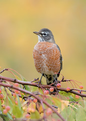 Merle d'Amérique Turdus migratorius - American Robin (Anthony Fontaine photographe animalier) Tags: