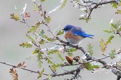 Western Bluebird (Garrett Lau) Tags: westernbluebird birds coyotevalley