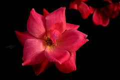 IMGP3996 Rose (tsuping.liu) Tags: outdoor organicpatttern blackbackground bright blooming plant petal photoborder perspective passion pattern photographt flower nature natureselegantshots naturesfinest rose red redblack