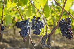 Tuscany 13 (sebmannheim) Tags: toskana wein weinreben trauben