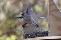 Taking Flight (Gale U) Tags: bird tufted titmouse