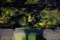 Today's Cat@2016-11-26 (masatsu) Tags: cat thebiggestgroupwithonlycats catspotting pentax mx1