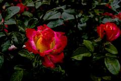 Rose Intensity (fred.carter) Tags: northamerica usa flora flowerbud flowers fredcarter garden overcast plant rosebud roses travel travelling vacation weather