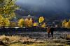 Stroll (MelindaChan ^..^) Tags: sichuan china 四川 川西高原 新都橋 autumn colors fall tree plant yellow chanmelmel mel melinda melindachan nature cow yak animal rural countryside