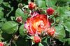 Maig_1389 (Joanbrebo) Tags: 16èconcursinternacionalderosesnovesdebarcelona canoneos70d efs18135mmf3556is eosd autofocus park parque parc parccervantes garden jardí jardín barcelona blumen blossom flors flores flowers fiori fleur