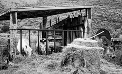 A day in the farm (Mario Ottaviani Photography) Tags: sony sonyalpha italy italia paesaggio landscape travel adventure nature scenic exploration view vista breathtaking tranquil tranquility serene serenity calm farm fattoria day giorno bianco nero biancoenero blackwhite blackandwhite