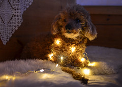 Christmas doggo Tiko (Villikko) Tags: dog christmas joulu koira poodle doggo villakoira kpivillakoira miniaturepoodle winter nikon nikond5100 d5100